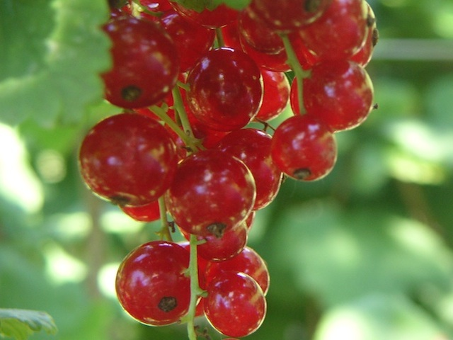 Currant - Ribes spp.