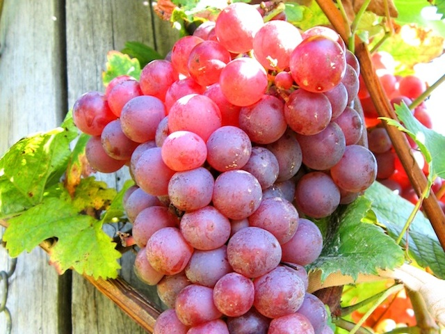 Grape - Vitis spp.