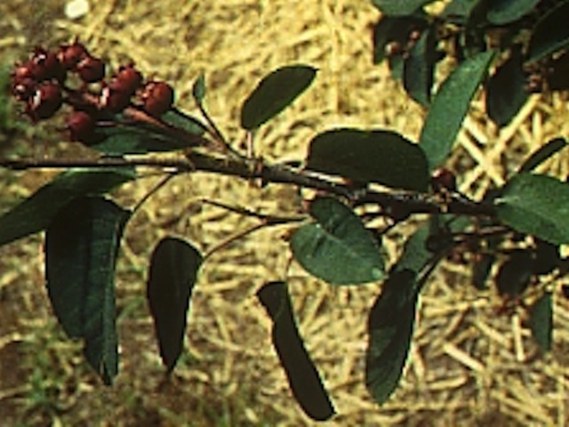 Juneberry - Amelanchier alnifolia Nutt.