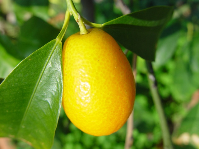 Kumquat - Fortunella spp.