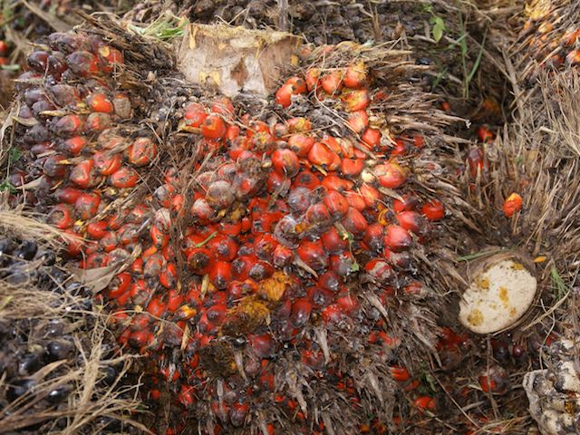 Oil Palm – Elaeis guineesis