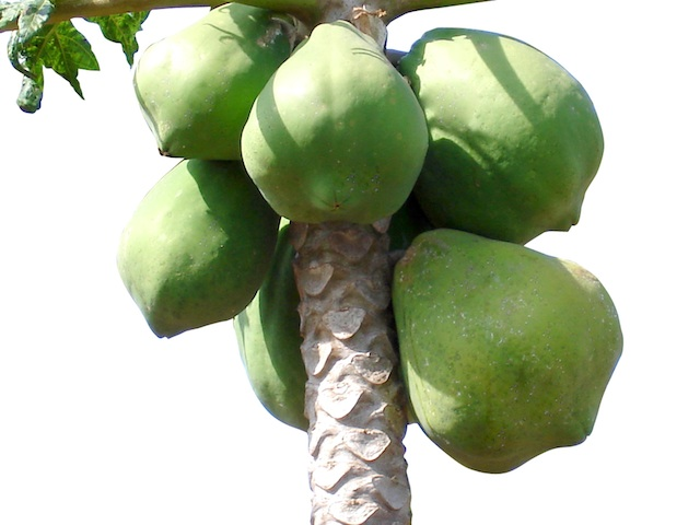 Papaya – Carica papaya