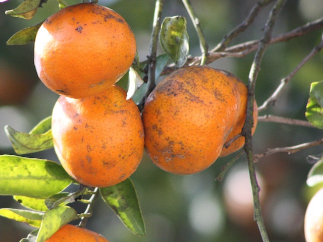 Tangerine - Citrus reticulata