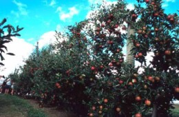 Apple Trees For Sale