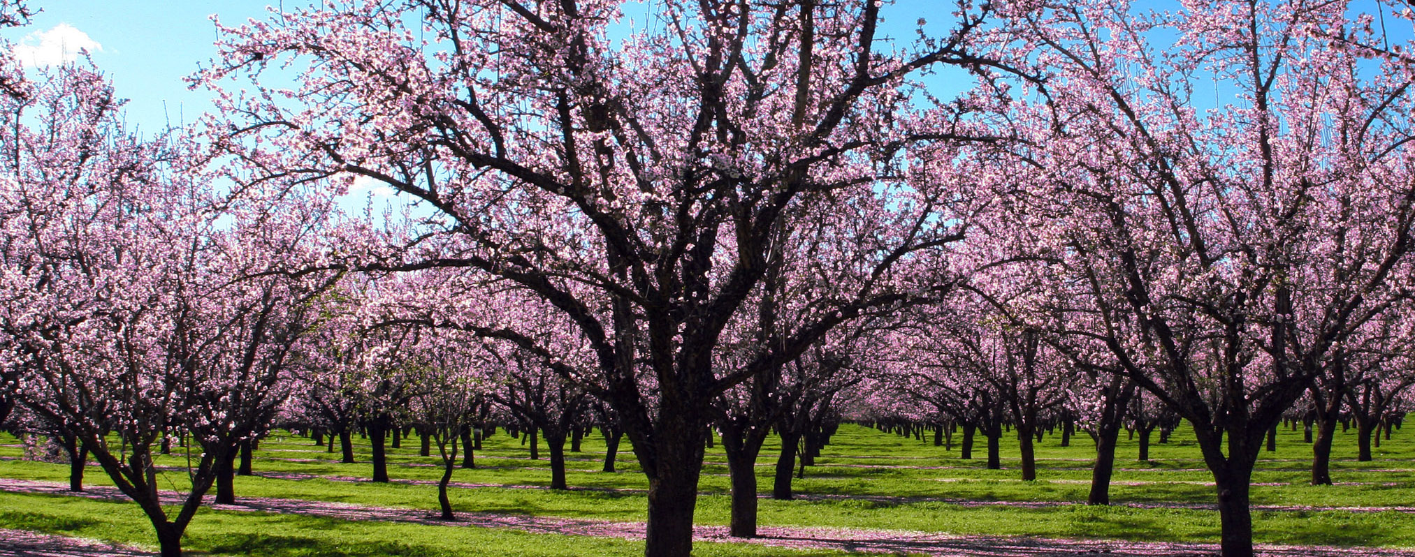 Almond Tree Nurseries