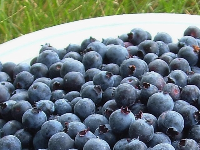 Blueberry - Vaccinum spp