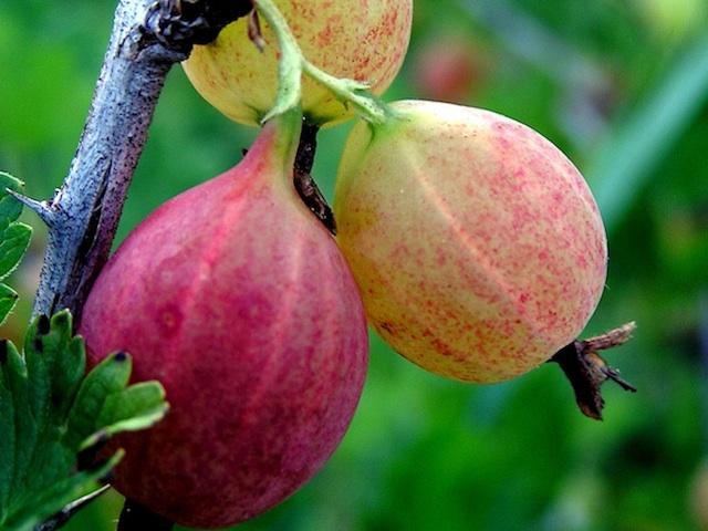 Gooseberry - Ribes spp.