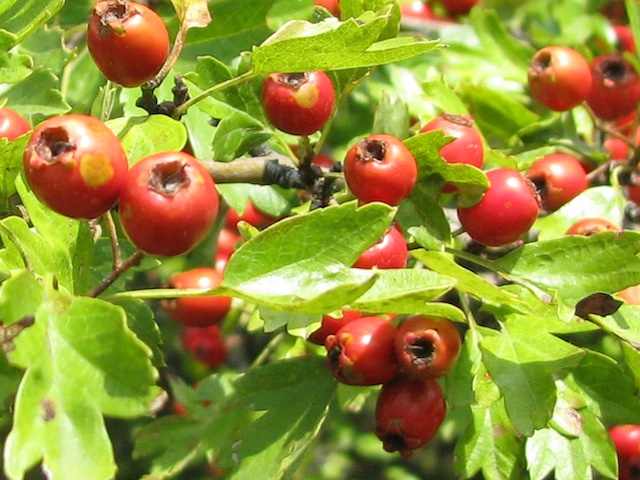 Mayhaw – Cratagus spp.