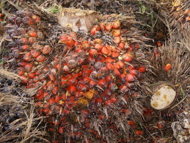 Oil Palm – Elaeis guineesis