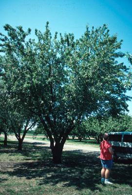 Almond - Prunus Dulcis | Fruit Crops