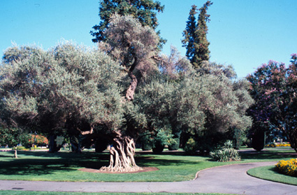 Olive Tree Sacramento California Fruit Crops
