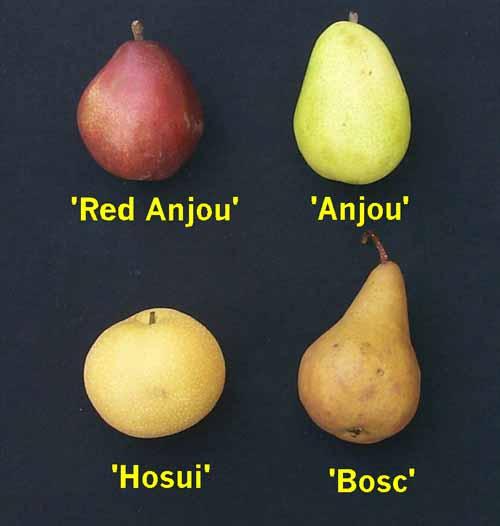 Asian pear taxonomy