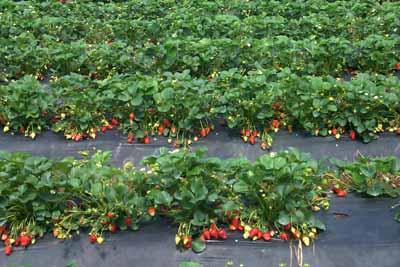 Strawberry Fragaria X Ananassa Fruit Crops